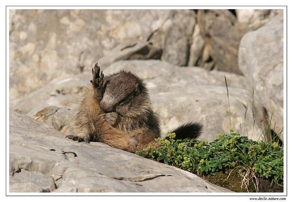 Photo Marmotte_M30