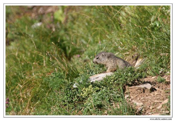 Photo Marmotte_M10