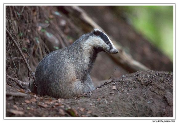 Photo_Blaireau_17 (Blaireaux - Meles meles - Eurasian Badger)