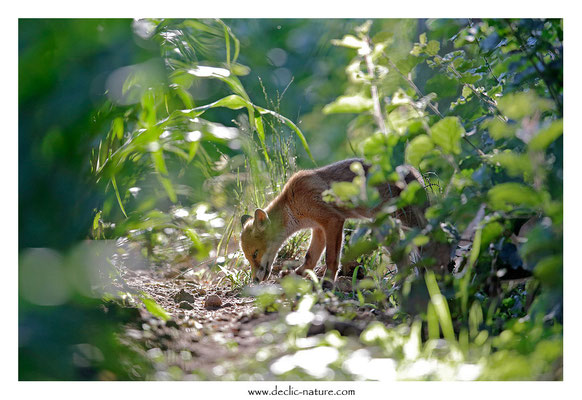 Photo Renard_160 (Renard roux -Vulpes vulpes - Red Fox)