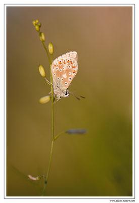 Polyommatus bellargus ou coridon (3)
