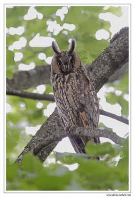 Photo 2 (Hibou moyen-duc - Asio otus - Long-eared Owl)