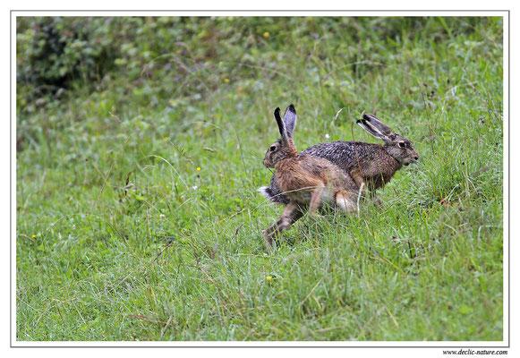 Lièvres - Lepus europaeus - Brown Hare (3)