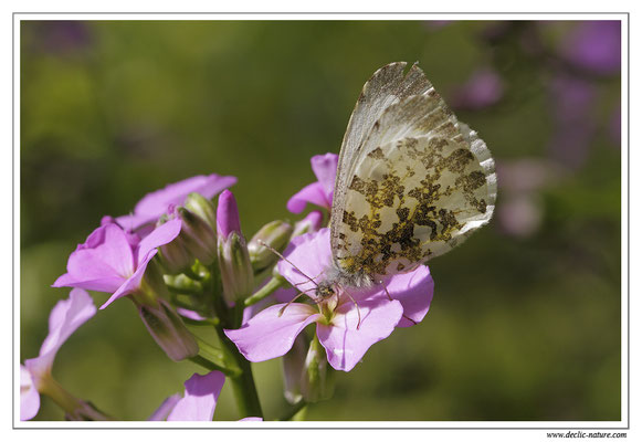 Aurore - Anthocharis cardamines (1)