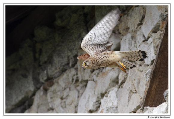 Photo 17 (Faucon crécerelle - Falco tinnunculus - Common Kestrel)