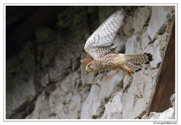 Photo 17 (Faucon crécerelle - Falco tinnunculus - Common Kestrel)