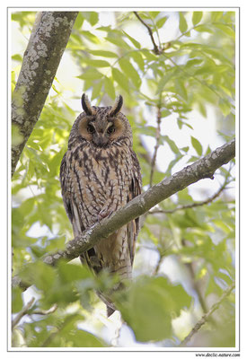 Photo 27 (Hibou moyen-duc - Asio otus - Long-eared Owl)