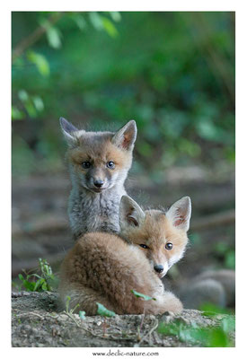 Photo Renard_122 (Renard roux -Vulpes vulpes - Red Fox)