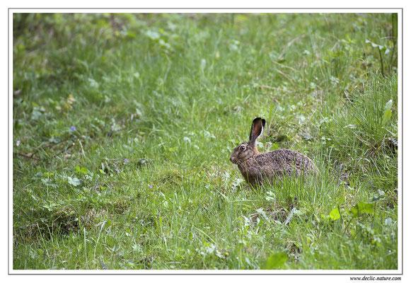 Lièvres - Lepus europaeus - Brown Hare (8)