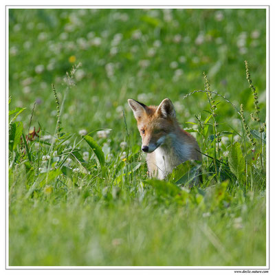 Photo Renard_42 (Renard roux -Vulpes vulpes - Red Fox)