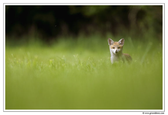 Photo Renard_51 (Renard roux -Vulpes vulpes - Red Fox)