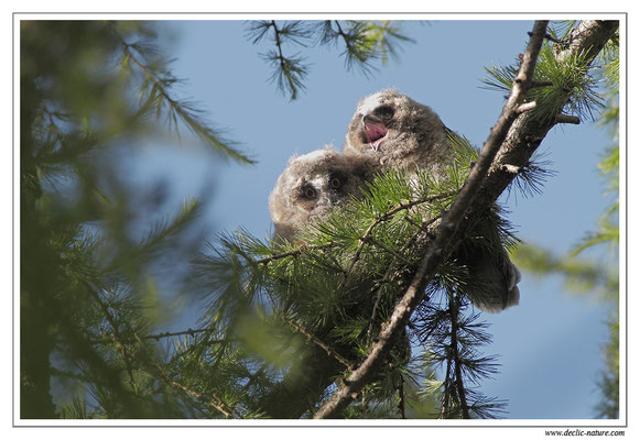 Photo 9 (Hibou moyen-duc - Asio otus - Long-eared Owl)