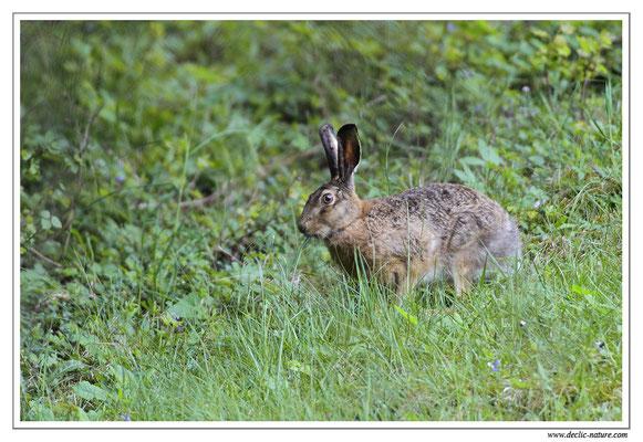 Lièvres - Lepus europaeus - Brown Hare (9)