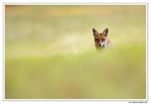Photo Renard_104 (Renard roux -Vulpes vulpes - Red Fox)
