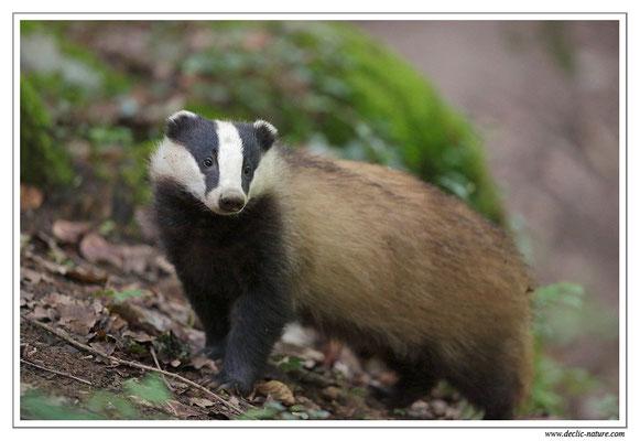 Photo_Blaireau_24 (Blaireaux - Meles meles - Eurasian Badger)