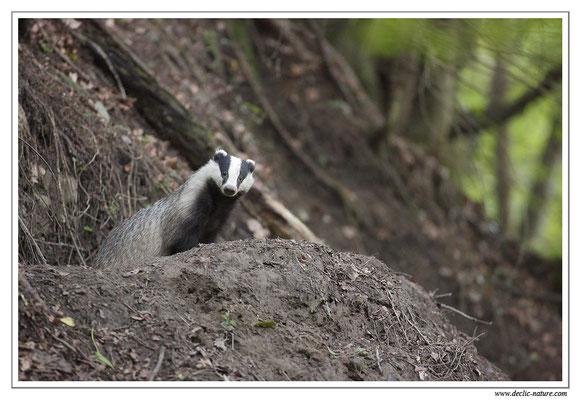 Photo_Blaireau_9 (Blaireaux - Meles meles - Eurasian Badger)