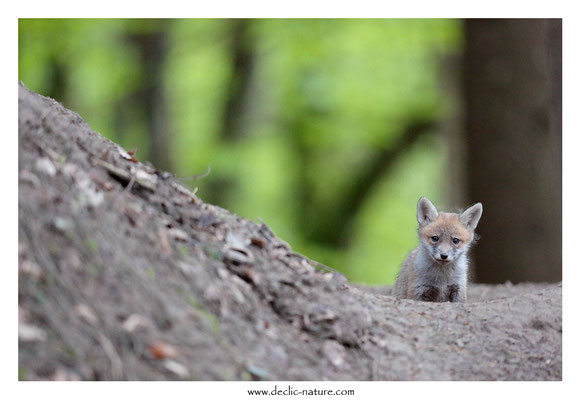 Photo Renard_174 (Renard roux -Vulpes vulpes - Red Fox)