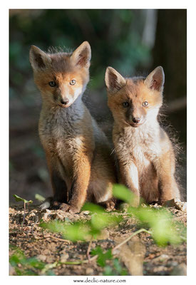 Photo Renard_110 (Renard roux -Vulpes vulpes - Red Fox)