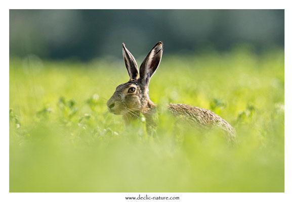 Lièvres - Lepus europaeus - Brown Hare (40)
