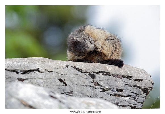 Photo Marmotte_45