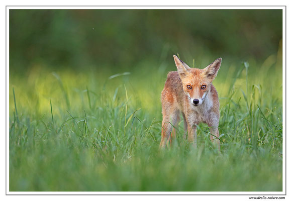 Photo Renard_106 (Renard roux -Vulpes vulpes - Red Fox)