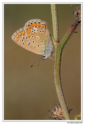 Azuré commun - Polyommatus icarus (9)