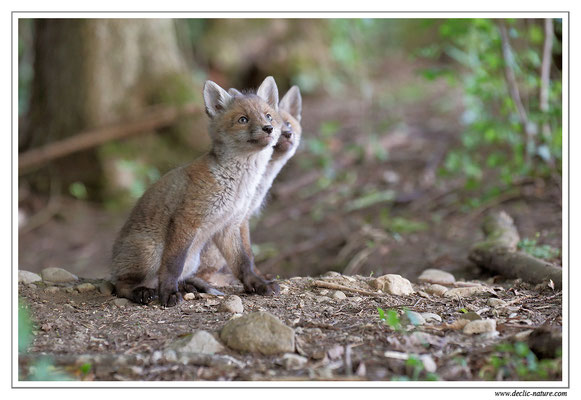 Photo Renard_121 (Renard roux -Vulpes vulpes - Red Fox)