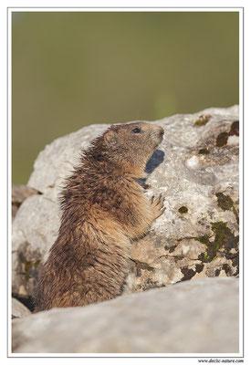 Photo Marmotte_32