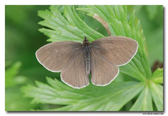 Tristan - Aphantopus hyperantus (5)