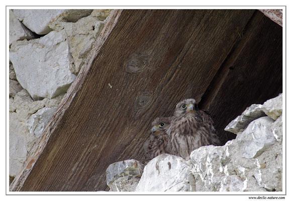 Photo 21 (Faucon crécerelle - Falco tinnunculus - Common Kestrel)
