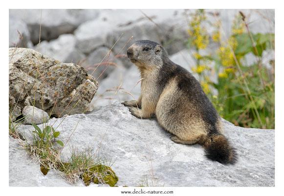 Photo Marmotte_69
