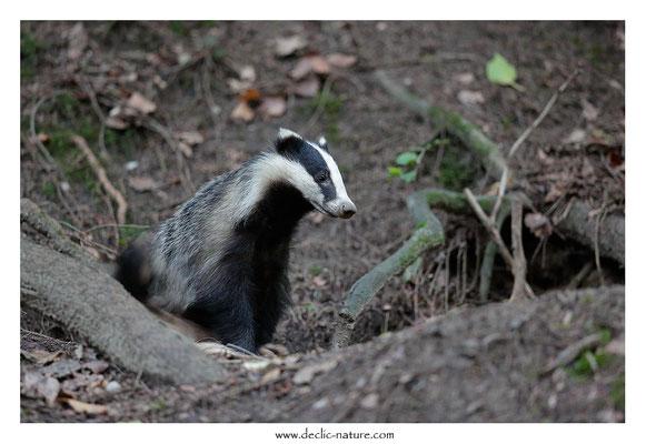 Photo_Blaireau_69 (Blaireaux - Meles meles - Eurasian Badger)