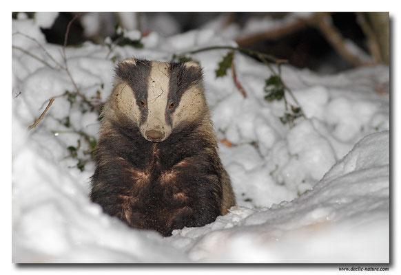 Photo_Blaireau_2 (Blaireaux - Meles meles - Eurasian Badger)