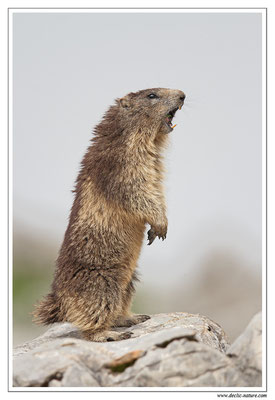 Photo Marmotte_16