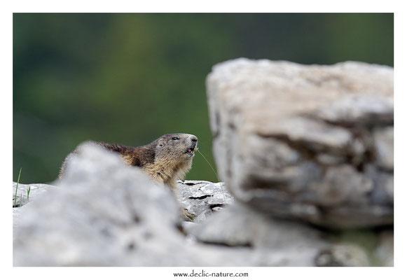 Photo Marmotte_54
