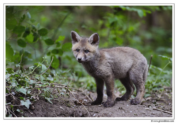 Photo Renard_25 (Renard roux -Vulpes vulpes - Red Fox)