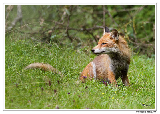 Photo Renard_36 (Renard roux -Vulpes vulpes - Red Fox)