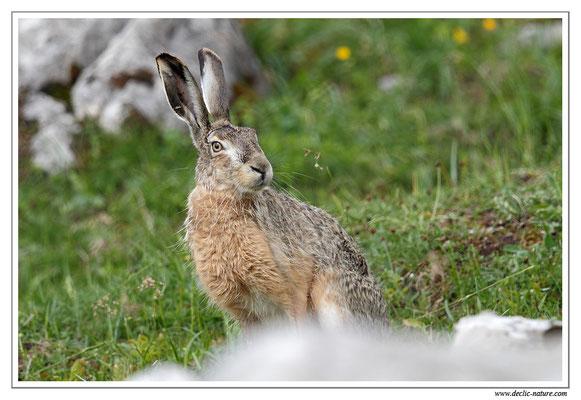 Lièvres - Lepus europaeus - Brown Hare (14)