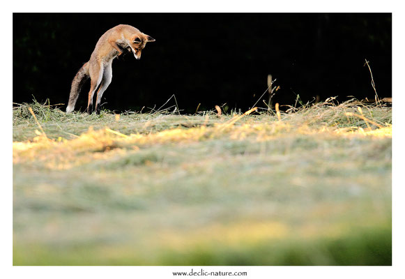 Photo Renard_190 (Renard roux -Vulpes vulpes - Red Fox)