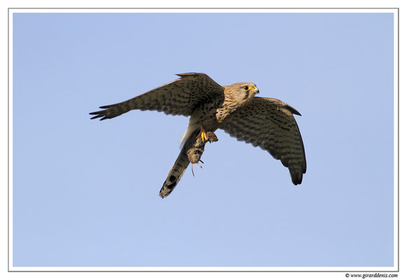 Photo 15 (Faucon crécerelle - Falco tinnunculus - Common Kestrel)