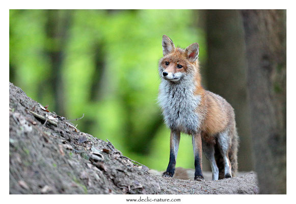 Photo Renard_179 (Renard roux -Vulpes vulpes - Red Fox)