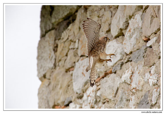 Photo 31 (Faucon crécerelle - Falco tinnunculus - Common Kestrel)