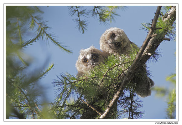 Photo 7 (Hibou moyen-duc - Asio otus - Long-eared Owl)