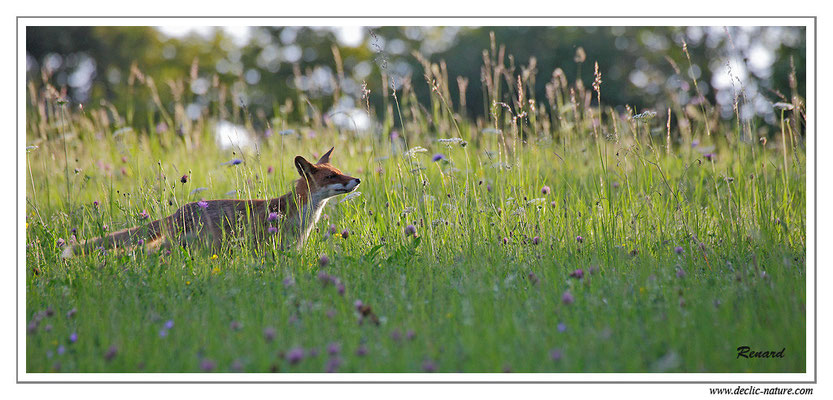 Photo Renard_37 (Renard roux -Vulpes vulpes - Red Fox)