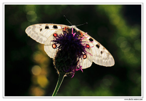 Apollon - Parnassius apollo (2)
