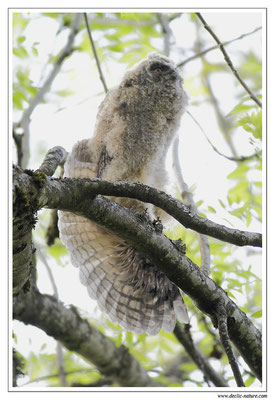 Photo 19 (Hibou moyen-duc - Asio otus - Long-eared Owl)