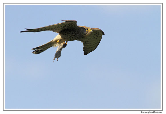Photo 9 (Faucon crécerelle - Falco tinnunculus - Common Kestrel)