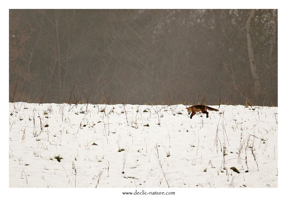 Photo Renard_165 (Renard roux -Vulpes vulpes - Red Fox)