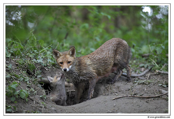 Photo Renard_20 (Renard roux -Vulpes vulpes - Red Fox)