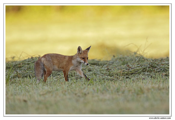 Photo Renard_70 (Renard roux -Vulpes vulpes - Red Fox)